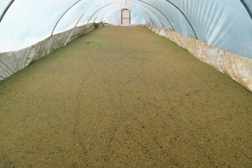 العمل الزراعي يشرف على زراعة نباتات الأزولا كبديل للأعلاف في قطاع غزة