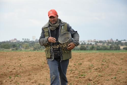 العمل الزراعي يقوم بزراعة 1250 دونم ببذور القمح في المناطق الشرقية الحدودية للقطاع