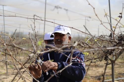 العمل الزراعي ينفذ الحملة الثانية لتقليم 250 دونم من اشتال العنب بغزة