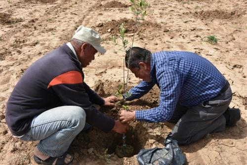 العمل الزراعي يزرع 4000 شجرة زيتون في المناطق الشرقية الحدودية لقطاع غزة