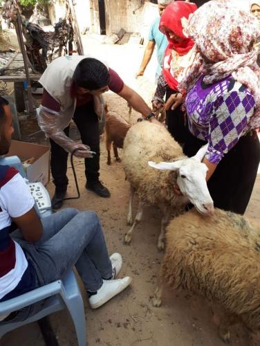 العمل الزراعي ينفذ زيارات بيطرية ارشادية ضمن حملة تطوعية تستهدف مربي الأغنام في قطاع غزة