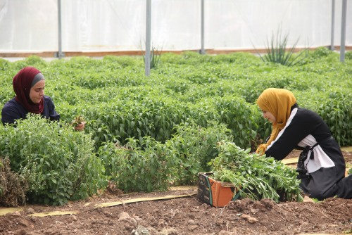 With support of UAWC  Lama and Lara tackle unemployment through agricultural work