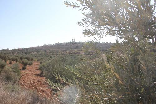 العمل الزراعي ينظم افتتاحاً افتراضياً لموسم قطف الزيتون معلناً إطلاق حملة فعلية في الضفة وقطاع غزة