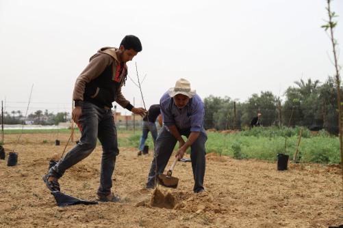 العمل الزراعي يبدأ بزراعة 160 دونم بأشجار الخوخ ذات الجودة العالية في قطاع غزة