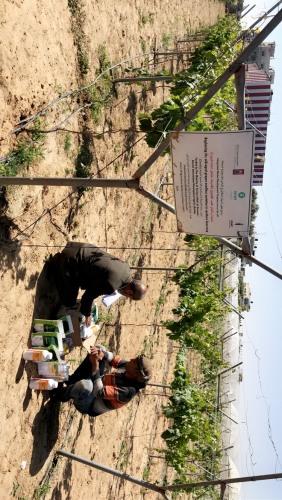 العمل الزراعي يوزع مخصبات عضوية على مزارعي العنب اللابذري في قطاع غزة